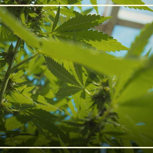 Afbeelding van Medicinaal cannabisgebruik: Nellie gaat langs bij Serge en Marian | Drugslab Extra